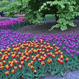 Lalele by Dobrin Anca - Instagram & Mobile iPhone ( field, green, amsterdam, flowers, garden )