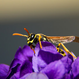 Hornet by Alex Florea - Animals Insects & Spiders ( purple, hornet, yellow, flowers )