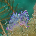 Flabelina Nudibranch