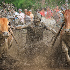 Traditional sports by Ed Nofri - Sports & Fitness Rodeo/Bull Riding ( batusangkar, traditional, pacu jawi )
