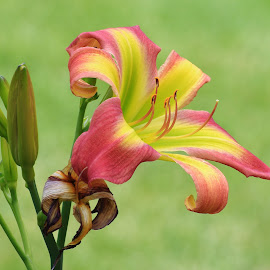 Day Lily by Margie Troyer - Flowers Single Flower