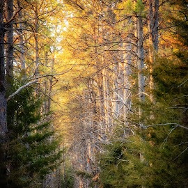A Walk in the Woods by Kendra Perry Koski - Landscapes Forests ( forest, pine, rahn lake state recreation area, woods, tripp county, hike, tokina, april, dakotawindsphoto.com, trees, hifromsd, spring, dam, dakota winds photography, 2018, winner, ponderosa pine, pine cone, south dakota, pine trees, lake, deer trails, us, walk )