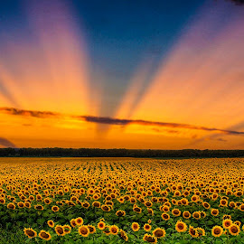 Sunflower Sunrise by Jerry Kambeitz - Landscapes Prairies, Meadows & Fields ( clouds, field, orange, sunflowers, sunrise )
