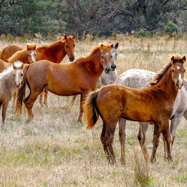 The Herd by Brent McKee - Animals Horses ( fuji x, wagga, foals, horses, australia, nsw )