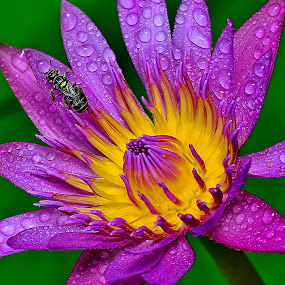 by SweeMing YOUNG - Nature Up Close Flowers - 2011-2013 ( plant, nature, flora, water lily, flower, petal )