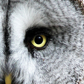 Owl eye  by Stephanie Veronique - Animals Birds ( bird of prey, owl, pwc tagged birds, close up, animal,  )