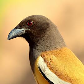 Rufous treepie by Manoj Kulkarni - Animals Birds ( rufous, treepie, nature, bird, wildlife )