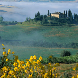Belvedere villa sunrise with yellow foreground flowers by Gale Perry - Landscapes Prairies, Meadows & Fields ( yellow flowers, tuscany, villa, fog, sunrise, belvedere, foreground, light on villa )