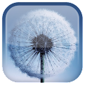 Dandelion Live Wallpaper APK for Bluestacks