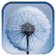 Dandelion Live Wallpaper APK for Blackberry