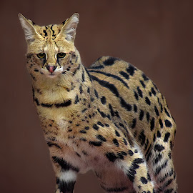 Serval by Shawn Thomas - Animals Lions, Tigers & Big Cats
