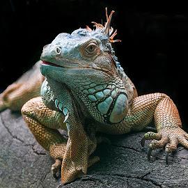 A Handsome Fellow by Sue Matsunaga - Animals Reptiles