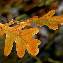 Last Autumn Oak Leaves by Chrissie Barrow - Nature Up Close Leaves & Grasses ( orange, nature, autumn, green, oak, leaves, bokeh, closeup )