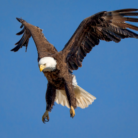Landing Formation by Monica Hall - Animals Birds ( wisconsin, eagle, flying eagle, bald eagle,  )