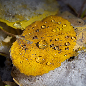 Water Droplet Leaf by Heather Diamond - Nature Up Close Leaves & Grasses ( folliage, beauty, yellow, leaves, droplets, aspen, fall leaves on ground, macro, sky, nature, tree, autumn, abscission, snow, wet, water, orange, up close, starburst, flora, star, white, scenic, trunk, blue, color, fall, drops, scenery )