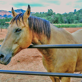 Feeding time by Michael Pruitt - Animals Horses ( arizona, horse, sedona, stable )