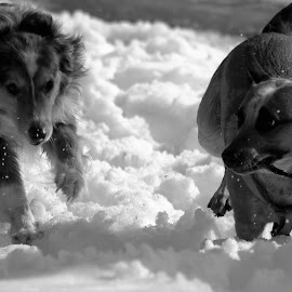 fFun The Snow by Roxanne Dean - Animals - Dogs Playing ( sticks, dogs, winter, fun, snowy,  )