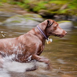Daphne Running in Water 1 by David Leer - Animals - Dogs Running ( water, oregon, daphne, lincoln, 2015, coast range, drift, lab, close up, spring, portrait, chocolate, mountains, county, female, pet, outdoor, creek, dog, animal,  )