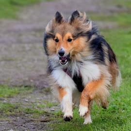 Benji in action by Fiona Etkin - Animals - Dogs Running ( canine, nature, pet, shetland sheepdog, action, dog, running, sheltie, animal )