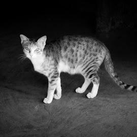 Wild Cat by Jay Dhorajiya - Animals - Cats Portraits ( canon, animals, cat, black and white, texture, india )