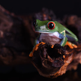 Chilean Red-eyed tree frog on a log by Fiona Etkin - Animals Amphibians ( black background, big eyes, nature, frog, amphibian, chilean red-eyed tree frog, animal )