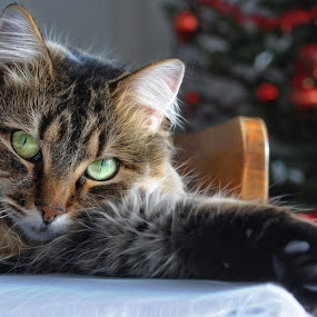 Christmass cat by Zoran Stanko - Animals - Cats Portraits ( cats, cat, animals, cute, zoran stanko, portrait )