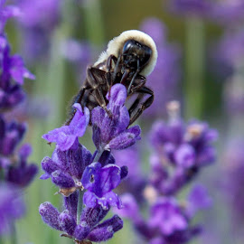 Bees at work by Sarah Scully - Nature Up Close Other plants ( nature, bee, door county, upclose, lavender, landscapes, flowers )
