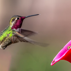 Anna Hummingbird by Dave Lipchen - Animals Birds ( anna hummingbird )