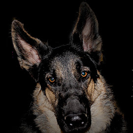 Apache at Night by Dawn Vance - Animals - Dogs Portraits ( german shepherd, dog, black and tan, animal )