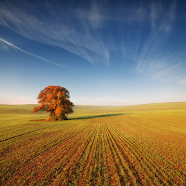 Alone Tree by Pawel Uchorczak - Landscapes Prairies, Meadows & Fields ( field, moravia, sunset, uchorczak, light )