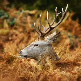 Stag by Nick Moulds - Animals Other ( park, antlers, stag, ferns, deer,  )