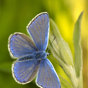 True Blue by Russell Mander - Animals Insects & Spiders ( small, blue, common, butterfly, grass )