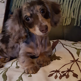 Don't want to get down!! by Ann Prince - Animals - Dogs Puppies ( browns, dachsund, puppy )