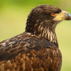 La fierté de l'aigle by Gérard CHATENET - Animals Birds