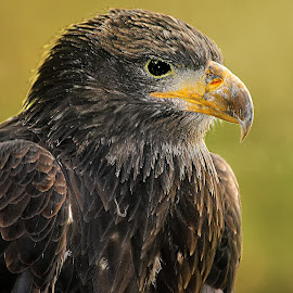 Eagle by Gérard CHATENET - Animals Birds