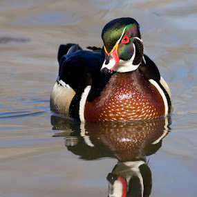 Male woodduck / drake / canard branchu male by Rachel Bilodeau - Animals Birds ( male woodduck, drake, male, canard branchu )