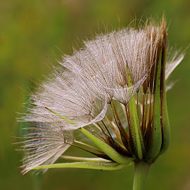Natural Geometry by Chrissie Barrow - Nature Up Close Other plants ( plant, wild, green, bokeh, cream, seedhead, geometry, quadrant, jack-go-to-bed-at-noon, brown, seeds, meadow salsify, closeup )