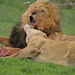 oh didnt expect that... by Charmane Baleiza - Animals Lions, Tigers & Big Cats