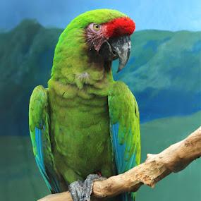 Red Plume by Joseph Basukarno - Animals Birds ( canon, bird, animals, green, plume )
