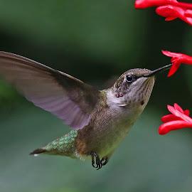 Winging it! by Anthony Goldman - Animals Birds ( wuild, firspike, flight, tampa, bird, hummingbird, florida., ruby -throat, flower )