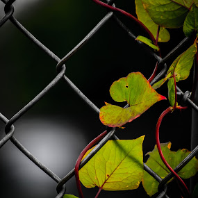 Pathfinders by Even Steven - Nature Up Close Leaves & Grasses ( wire, tie, green, crawl, leaf, ivy, leaves, up, fence, nature, twist, prevail, industry )