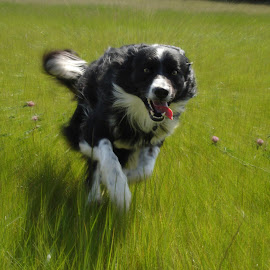 You Called? by Sally Turner - Animals - Dogs Running ( excitement, border collie, dog, running )