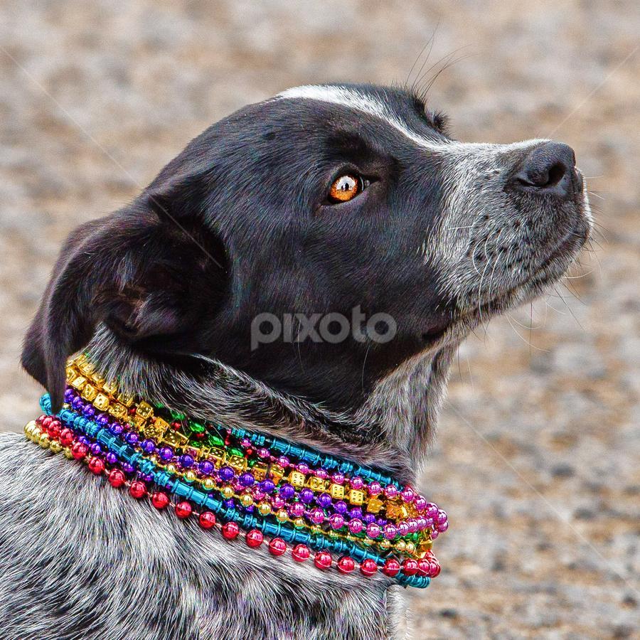 This Mardi Gras Parade is So Interesting! by Judy Rosanno - Animals - Dogs Portraits ( parade, cowboy capital, texas, mardi gras 2018, bandera,  )