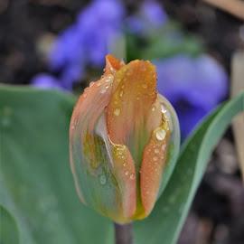 Green River Running by Scot Gallion - Flowers Single Flower ( green river tulip, april shower shots, green spring garden park, tulip with rain drops, orange & green tulip,  )