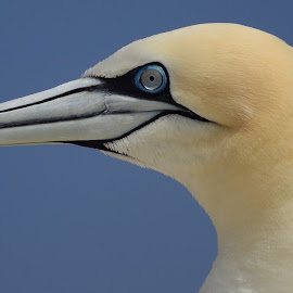 Gannet Portrait by Pat Somers - Animals Birds