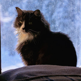 Winter Window Cat by Twin Wranglers Baker - Animals - Cats Portraits ( cat, long haired cat, cat in window, feline, kitty,  )
