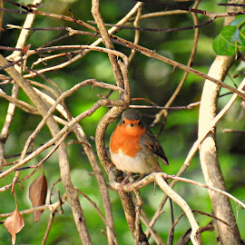 Robin by Nicola Bake - Novices Only Wildlife ( bird, robin, red, nature, green, wildlife )