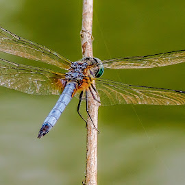 by Allen Wesley - Animals Insects & Spiders ( animals, nature, dragonfly, insects, close up )