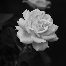 by Cristian Nicola - Black & White Flowers & Plants