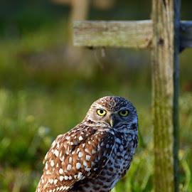 The guardien by Judith Cavanagh - Animals Birds ( grass, owl, feathers, light, cross )